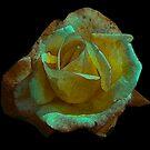 Rose -#2 by Trevor Kersley