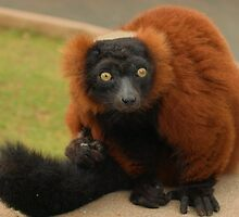 Red Ruffed Lemur Monkey by Franco De Luca Calce