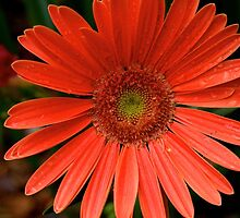 Gerbera Daisy by Douglas E.  Welch