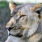 Lioness by venny