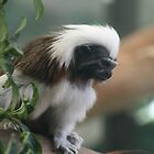 Cotton-Topped Tamarin by Jay Spadaro