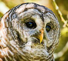 Barred Owl by heathergreen