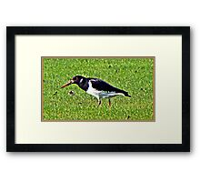 And  further along the River bank, we saw this Oyster Catcher in a field on the other bank Framed Print