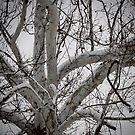 Snow on the Sycamore   by barnsis