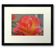 Rose of friendship - open and receiving the morning dew! Lee Family Garden Framed Print