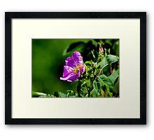 Common Wild Rose Framed Print