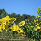 Sonoma Vineyard With Daisies by Zehda