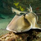 Port Jackson Shark by Andrew Trevor-Jones