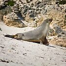 Seal Bay Sealion by AllshotsImaging