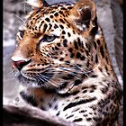 Leopard by ULHALL