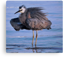 White Faced Egret Canvas Print