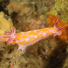 Nudibranch - Ceratosoma amoena by Andrew Trevor-Jones