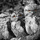 Tawny Frogmouths by yorgi
