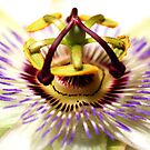 The Passion Flower by George Kypreos
