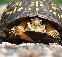 Box Turtle by johncorrell