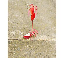 red leaf, a tender sprout is in a concrete Photographic Print