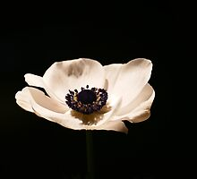 Anemone by franceslewis