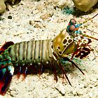 Mantis Shrimp by Allan Saben