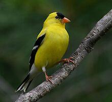 Male Yellow Finch by Jim Davis