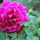Rosa 'Mme Isaac Periere' by Julie Sherlock