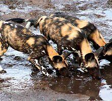 African Wild Dog by Kevin Jeffery