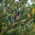 New Holland Honeyeater by Sprinkla