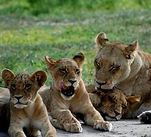Lioness with cubs by Kevin Jeffery