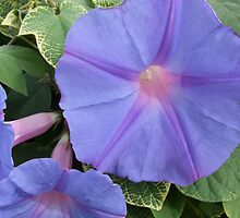 Morning Glories by emele