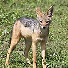 Black Backed Jackal by Nickolay Stanev
