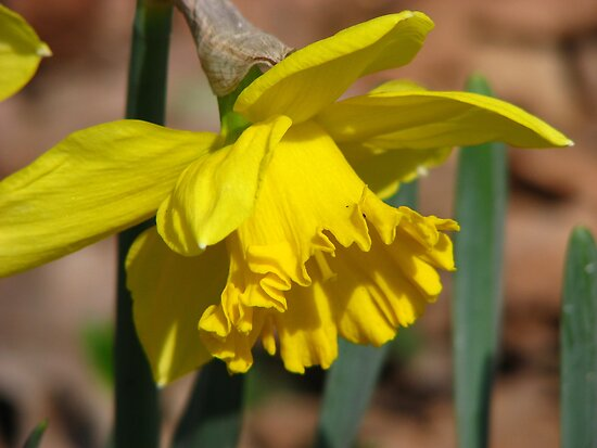 Daffodil by NatureGreeting Cards ©ccwri