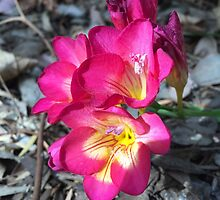 Freesia in the garden by Douglas E.  Welch
