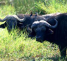 Buffalo in the reeds by Kevin Jeffery