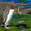 Yellow-eyed Penguin by Nickolay Stanev