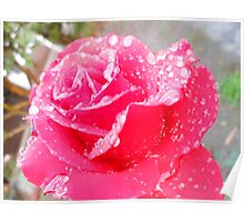 Red Rose With Due Poster