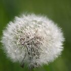 Dandelion by wise