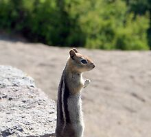 Golden-mantled Ground Squirrel - 1426 by BartElder