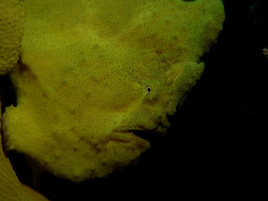 Commerson's Frogfish by TaiHaku