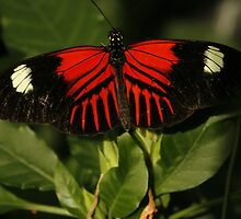 Postman Longwing Closeup by Adam Bykowski