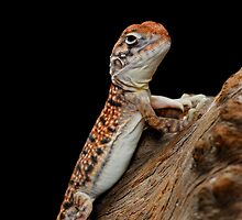 Central Netted Dragon [Ctenophorus nuchalis] by Shannon Plummer