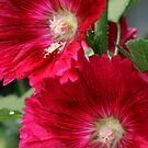 Red Hollyhocks by picketty