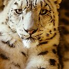 Snow Leopard by WebVivant