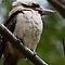 Laugh Kookaburra Laugh by dale rogers