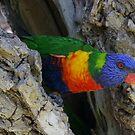 Rainbow Lorikeet in Residence by Helen Phillips