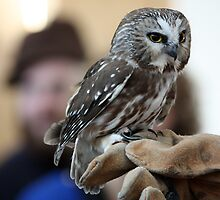 Northern Saw-Whet Owl by lloydsjourney