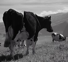 Cows, Azores islands by Gaspar Avila