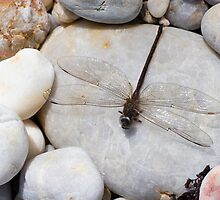Dragonfly on pebble by Joshua Rablin