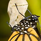 Newly hatched monarch butterfly and chrysalis by Cranston Reid