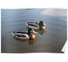 Ducks on water Poster