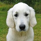 My Golden Retriever Ditte 3 months old (back in 2004) by Trine