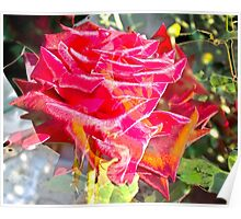 Multiexposure Red rose 4 Poster
